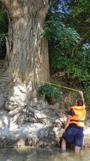Aqua Crisius a inventariat 11 arbori seculari din Lunca Crişului Negru (FOTO)