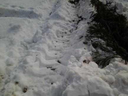 Hoţii de lemne au dat iama în Padiş: 10 camioane cu brad furate între Sărbători, dar poliţiştii n-au văzut nimic! (FOTO)