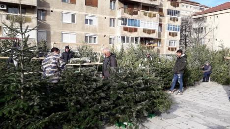 Au apărut brazii de Crăciun în pieţele din Oradea (FOTO)