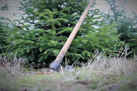 Judeţul Bihor, campion la tăieri ilegale de pomi de Crăciun