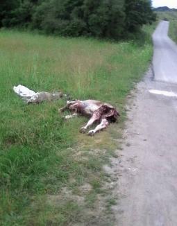Barbarie în Bihor: Doi viţei au fost abandonaţi, jupuiţi de piele, la marginea drumului dintre Ceica şi Lăzăreni (FOTO)