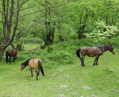 Veterinarii umblă după animalele bolnave de 'SIDA cailor'