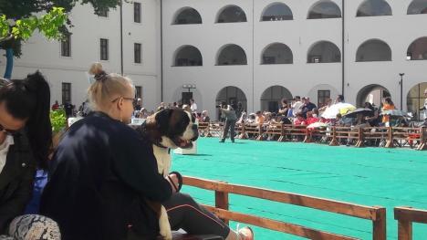 """Sute de căței au """"cucerit"""" Cetatea: Boxeri din 36 de țări au venit în premieră la Oradea la un concurs mondial de frumusețe! (FOTO / VIDEO)"""