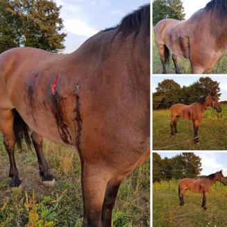 Poliţiştii Serviciului Arme Bihor sunt în alertă: Un braconier a împuşcat un cal în satul Forău. Cine e 'domnul mare din Oradea'? (FOTO)