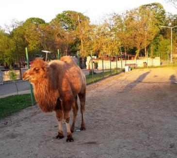 Cămilă cu două cocoaşe la Zoo Oradea