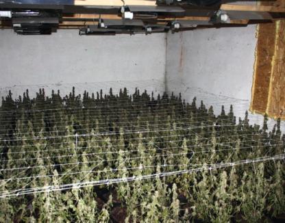 """Gruparea care şi-a tras """"fabrică"""" de cannabis, trimisă în judecată (FOTO/VIDEO)"""
