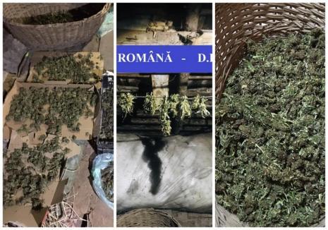 Aproape 1,5 kilograme de cannabis, găsite în podul unei case din Beiuş. Proprietarul, un tânăr de 27 ani, a fost reţinut (FOTO)