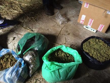 Închisoare cu executare: Proprietarii culturii de cannabis din Tinca şi trei dintre dealerii lor au ajuns după gratii