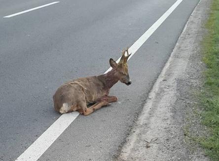 Un pui de căprioară accidentat salvat de un şofer orădean şi de poliţişti de pe marginea drumului a murit la veterinar