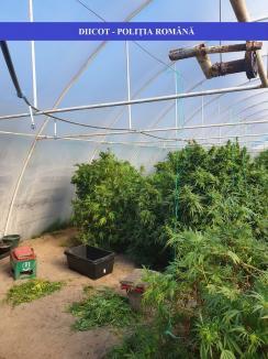 Şi-au făcut plantaţie de cannabis în solariu! Peste 150 de kilograme de droguri, capturate în Bihor (FOTO / VIDEO)