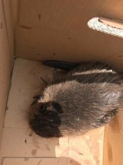 Un pui de castor rănit a fost salvat de pe malul Crișului Repede, în Oradea (FOTO)