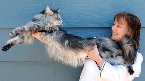 Cea mai lungă pisică din lume