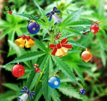 Un hipiot şi-a făcut brad dintr-o plantă de marijuana