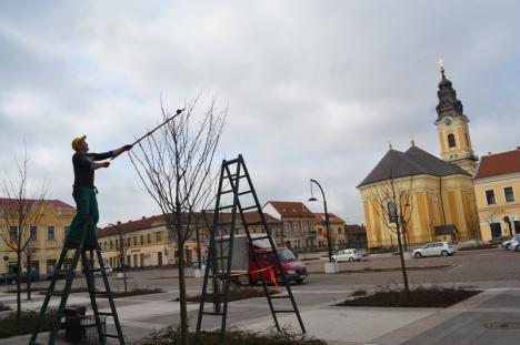 Pentru Oradea: Voluntari de la Congregaţia Don Orione au tuns corect cireşii japonezi din Piaţa Unirii (FOTO)