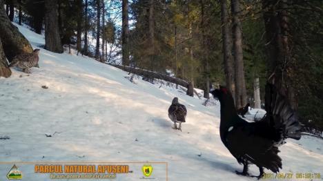 """Dansul cocoşilor de munte, în Parcul Apuseni: Imagini spectaculoase cu """"parada nupţială"""" a păsărilor (FOTO)"""