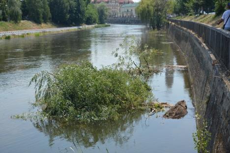 A venit apa şi i-a luat! Trei copaci s-au prăbuşit pe şantierul de pe malul stâng al Crişului (FOTO)