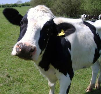 Obligat să se însoare cu o vacă, după ce a violat-o