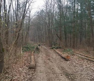 Peste 300 arbori, tăiaţi în pădurea 1 Mai! Şeful Direcţiei Silvice Bihor spune că defrişarea s-a făcut pe lege (FOTO)