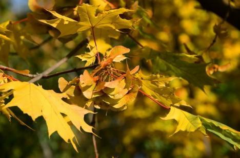 Toamna a îmbrăcat Oradea în culori arămii (FOTO)