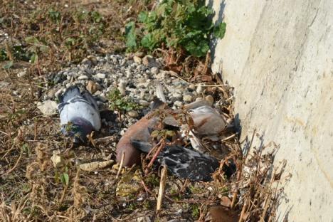 Şocant! Sute de porumbei otrăviţi au umplut malul Peţei în Calea Aradului (FOTO)