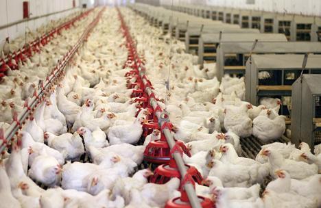 Mai multe persoane au fost intoxicate la o fermă de pui din Ciumeghiu, parte din grupul Nutrientul