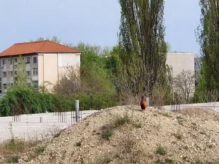 Musafir pe șantier: Un fazan a apărut pe șantierul liniilor de tramvai din Calea Aradului (FOTO)