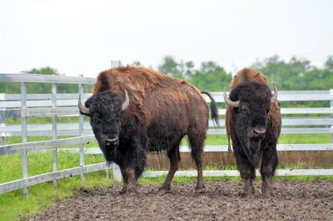 Cum arată cea mai mare fermă de bizoni din Europa de la marginea Salontei. A costat până acum peste 20 milioane de euro (FOTO / VIDEO)