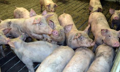 'Euro-condiţii': APM Bihor a publicat ciorna autorizaţiei pentru ferma Nutripork, în care impune respectarea normelor UE