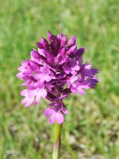 Flori de neuitat: Iubitorii de natură şi mai ales ai florilor pot admira specii rare de plante în rezervaţiile din Bihor (FOTO)