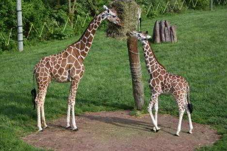Zoo Oradea ar putea să-şi îmbogăţească colecţia cu girafe