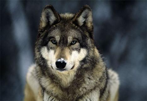 Un caz de turbare provocat de un lup în comuna Bratca