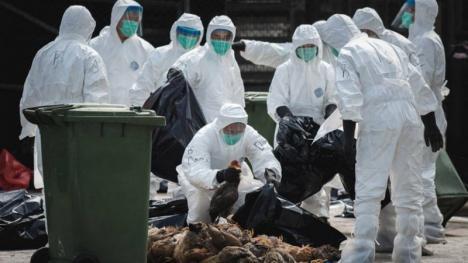 După pesta porcină africană, pericol de gripă aviară: Dacă virusul va fi confirmat la Diosig, urmează să fie lichidate toate cele 7.500 păsări crescute de populaţie
