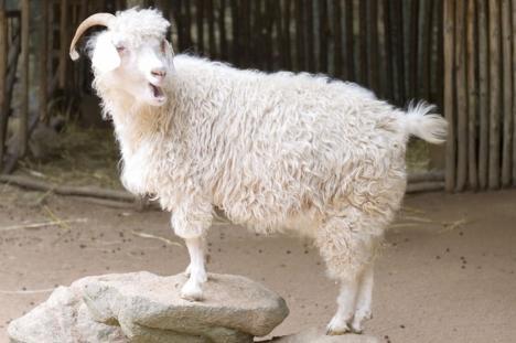 VIDEO cu puternic impact emoțional: Gap, Zara şi H&M renunţă la mohair, după ce PETA a publicat imagini revoltătoare făcute în crescătorii de capre de Angora
