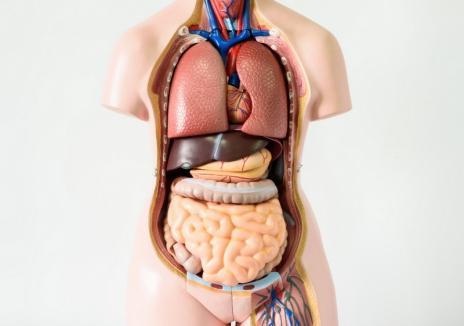 Au descoperit un nou organ al corpului uman. Ar putea ajuta la tratarea cancerului!