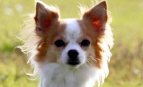 Noul câine-poliţist al japonezilor cântăreşte trei kilograme