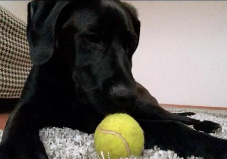 Un orădean a împuşcat labradorul unui vecin pentru că... s-a apropiat de gardul său