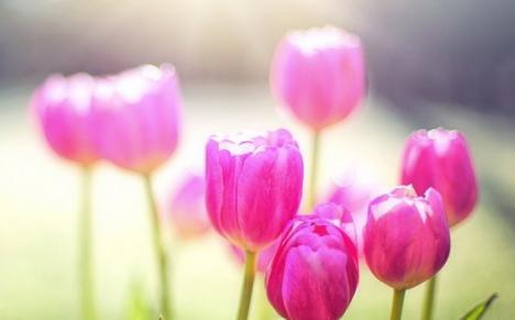 Bucurie între lalele: Bihorenii sunt invitaţi la Festivalul Primăverii, în Santăul Mic