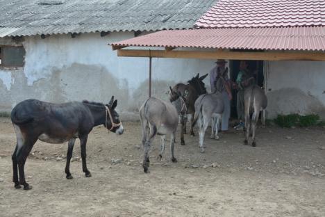 Folosiţi-vă de măgăruş! Doi bihoreni din Cauaceu au pus pe picioare singura fermă de lapte ecologic de măgăriţă din România (FOTO)