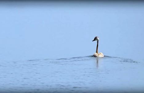Lebedele salvate din batalul cu reziduuri petroliere de la Suplacu de Barcău sunt iar libere în natură (FOTO/VIDEO)