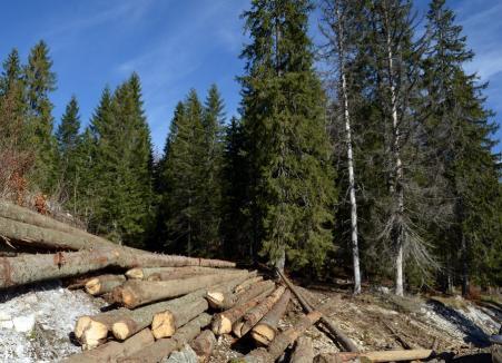 Percheziţii la hoţii de lemne din Bihor şi din alte 4 judeţe