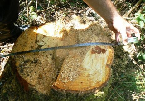 Hoţii de lemne din Arad au dat iama în pădurile din Bihor. Arborii de fag tăiaţi nu au fost găsiţi
