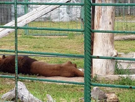 Ne enervează: Unul dintre leii de la Grădina Zoologică Oradea este atât de slab încât i se văd coastele