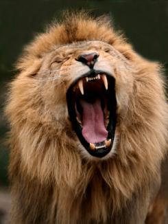 Copil de şase ani, sfâşiat de un leu (VIDEO)