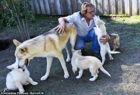 Au adoptat o haită de lupi!