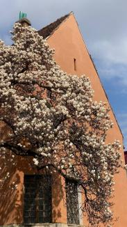Au înflorit magnoliile. Peisaje superbe în parcul Palatului Baroc şi în campusul Universităţii din Oradea(FOTO)