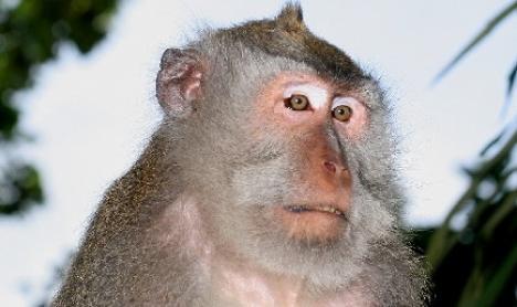 O maimuţă e poliţist în Thailanda