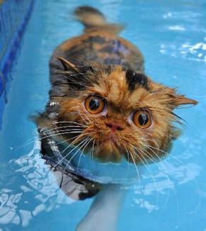 Pisica ce adoră să înoate (VIDEO)