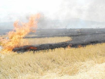 Pesta porcină loveşte şi agronomia: Proprietarii şi utilizatorii terenurilor din zonele afectate, obligaţi să-şi ardă recoltele cu risc de contaminare