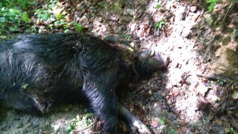 Pesta porcină africană se întinde din nordul spre estul judeţului, în pădurile din jurul Aleşdului. Şeful DSVSA Bihor: Vor trebui împuşcaţi toţi