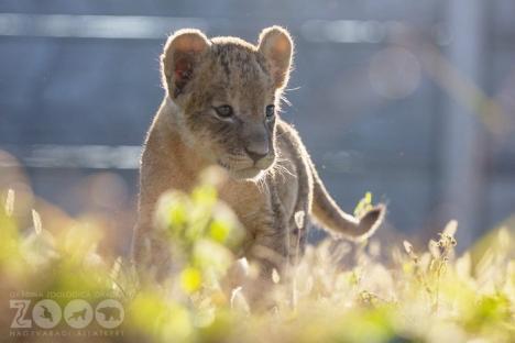 A murit Moja, puiul de leu născut la Zoo Oradea!